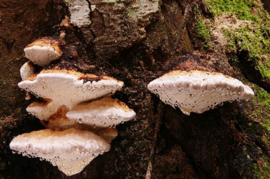 Polypore faux amadouvier